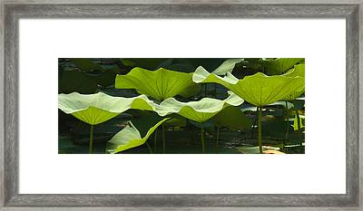 Lotus Lily Leaves In Pond Waimea Valley Framed Print by Sebastian Kennerknecht