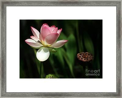 Lotus Opening To The Sun Framed Print by Sabrina L Ryan