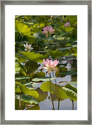 Lotus Standing Tall Framed Print by Dina Calvarese