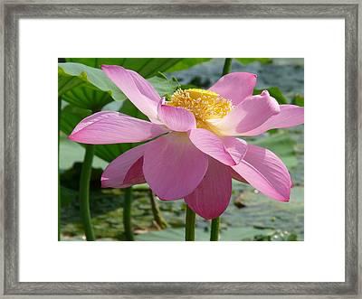 Lotus  Framed Print by Susan McNamara