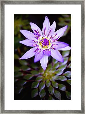 Lovely Lavendar Liliy Framed Print by Kicka Witte