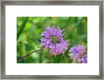Lovely Lavender  Framed Print by Whispering Feather Gallery