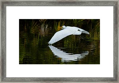 Low Flying Reflection Of Snowy Egret Framed Print by Andres Leon