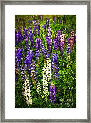 Lupins In Newfoundland Meadow Framed Print by Elena Elisseeva