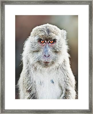Macaque Portrait Framed Print by MotHaiBaPhoto Prints