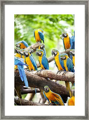Macaw Framed Print by Anek Suwannaphoom