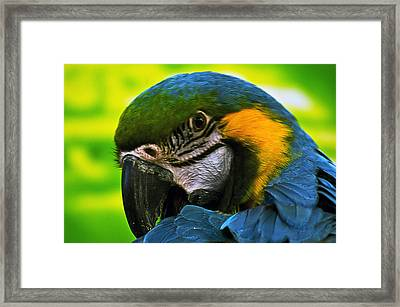 Macaw Framed Print by Cheryl Cencich