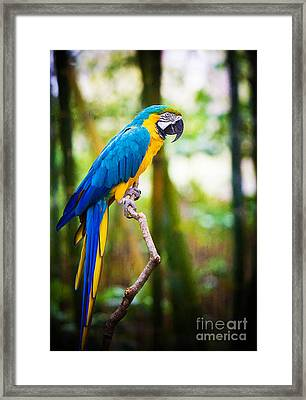 Macaw Framed Print by Joan McCool