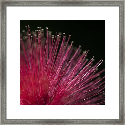 Macro Photograph Of A Calliandra Flower. Framed Print by Zoe Ferrie