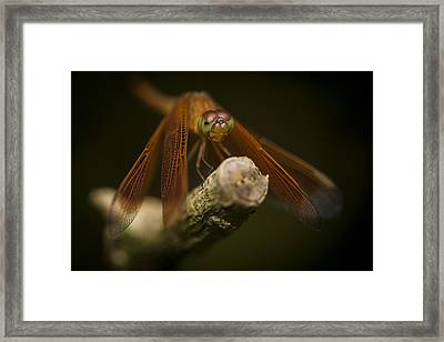 Macro Photograph Of A Dragonfly On A Twig Framed Print by Zoe Ferrie