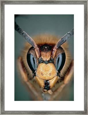 Macrophoto Of Head Of Hornet Vespa Crabro Framed Print by Dr. Jeremy Burgess