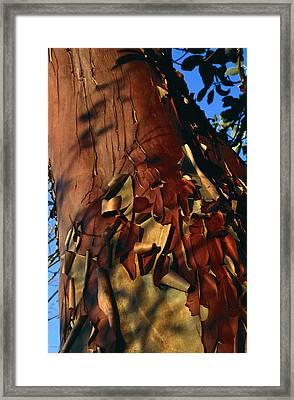 Madrone Tree Bark Framed Print by Alan Sirulnikoff