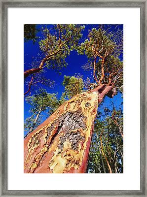 Madrone Tree Framed Print by David Nunuk