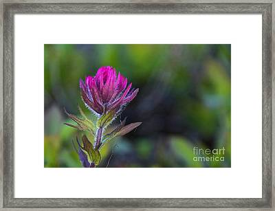 Magenta Paintbrush Framed Print by Sean Griffin