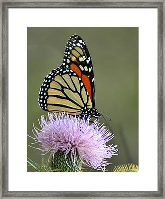 Magnificient Monarch Framed Print by Marty Koch