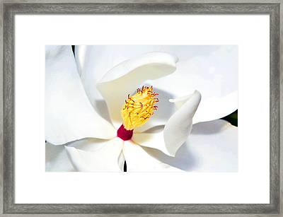 Magnolia Bloom Framed Print by Susan Leggett