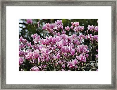 Magnolia In Full Bloom Framed Print by Kaye Menner