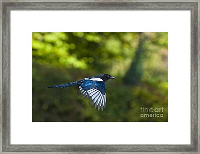 Magpie Framed Print by Andrew  Michael