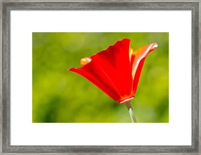 Mahogany California Poppy I Framed Print by Heidi Smith