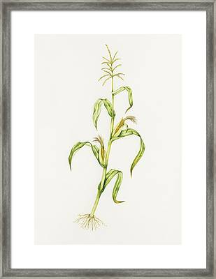 Maize (zea Mays) Framed Print by Lizzie Harper