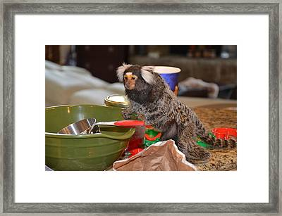 Making Cookies Chewy The Marmoset Framed Print by Barry R Jones Jr
