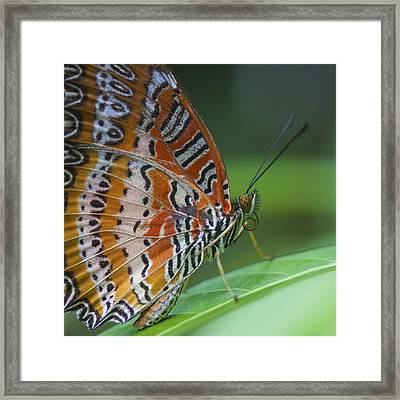 Malay Lacewing Butterfly Framed Print by Zoe Ferrie