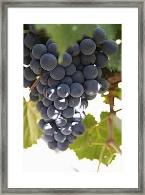 Malbec Grapes On The Vine Framed Print by Peter Langer