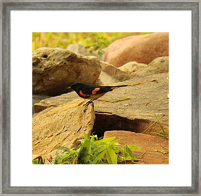 Male American Redstart On The Rocks Framed Print by Roena King