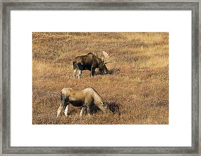 Male And Female Moose Alces Alces In Framed Print by Philippe Widling