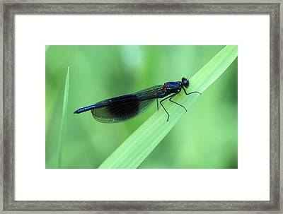 Male Banded Damselfly Framed Print by Dr Keith Wheeler