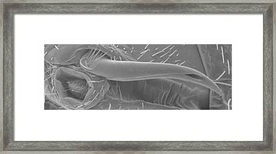 Male Bedbug's Sexual Organ, Sem Framed Print by Power And Syred