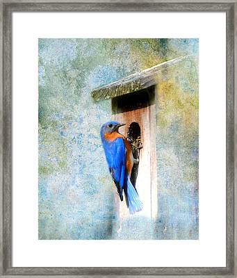 Male Eastern Bluebird At Nesting Box Framed Print by Jai Johnson