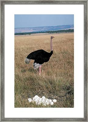 Male Ostrich With Eggs Framed Print by Carl Purcell
