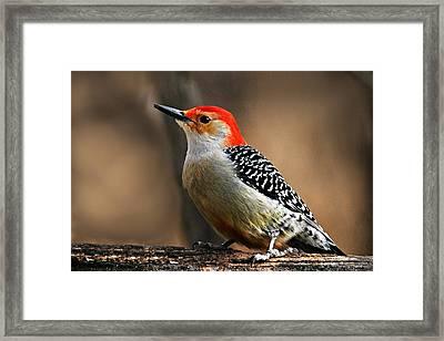Male Red-bellied Woodpecker 4 Framed Print by Larry Ricker