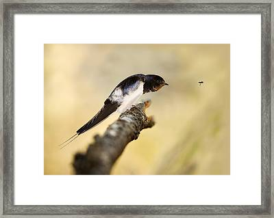 Male Swallow Framed Print by Power And Syred