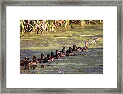 Mallard Ducks In A Row Framed Print by Travis Truelove