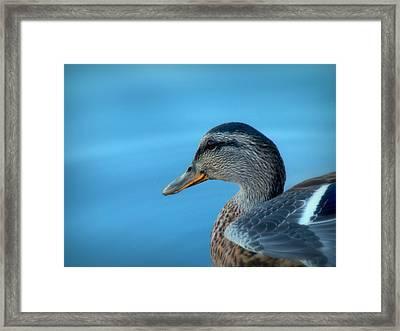 Mallard Hen Closeup Framed Print by Cindy Wright