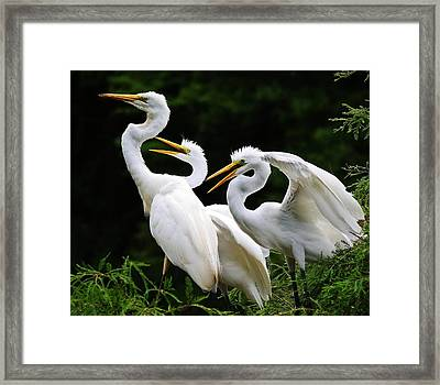 Mama Egrets With Her Babies Framed Print by Paulette Thomas