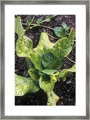 Mandrake (mandragora Officinarum) Framed Print by Adrian Thomas