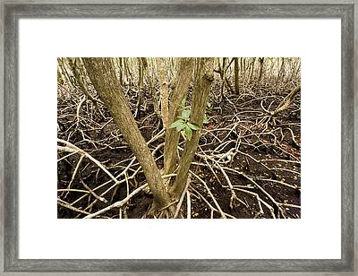 Mangrove Forest With Red Mangrove Framed Print by Tim Laman