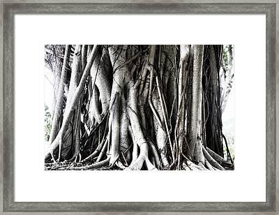 Mangrove Tentacles  Framed Print by Douglas Barnard