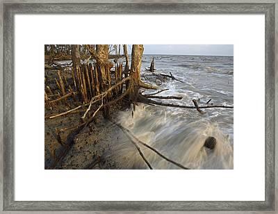 Mangrove Trees Protect The Coast Framed Print by Tim Laman