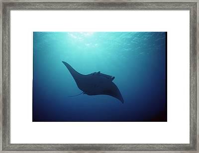 Manta Ray, Yap Islands, Caroline Framed Print by Joe Stancampiano