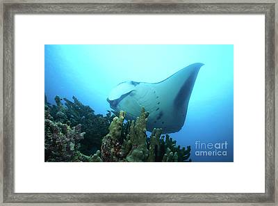 Manta Ray, Yap, Micronesia Framed Print by Beverly Factor