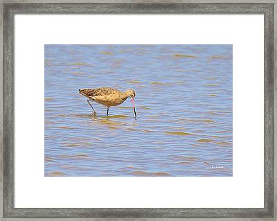 Marbled Godwit Searching For Food Framed Print by Roena King