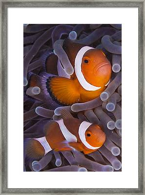 Maroon Clown Fish (premnas Biaculeatus) Amongst Sea Anemone Tentacles, Dumaguete, Negros Island, Philippines Framed Print by Oxford Scientific
