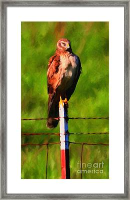 Marsh Hawk . Bird Of Prey . Painterly Framed Print by Wingsdomain Art and Photography