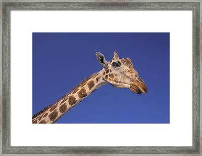 Masai Giraffe, Serengeti, Africa Framed Print by Thomas Kitchin & Victoria Hurst