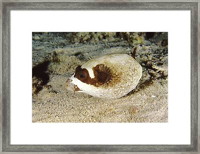 Masked Pufferfish Framed Print by Alexis Rosenfeld