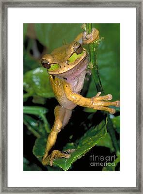 Masked Treefrog Framed Print by Gregory G. Dimijian